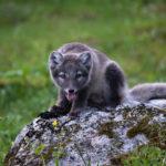 Islanda Wildlife: la volpe artica e fjordi occidentali